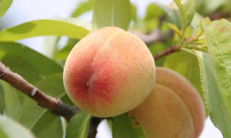 Het seizoensfruit van augustus