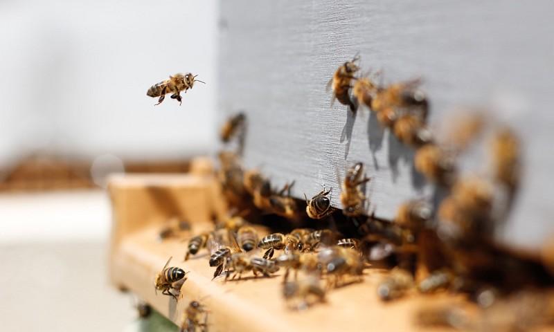 Bijen in de natuur – waarom het redden van de bijen belangrijk is