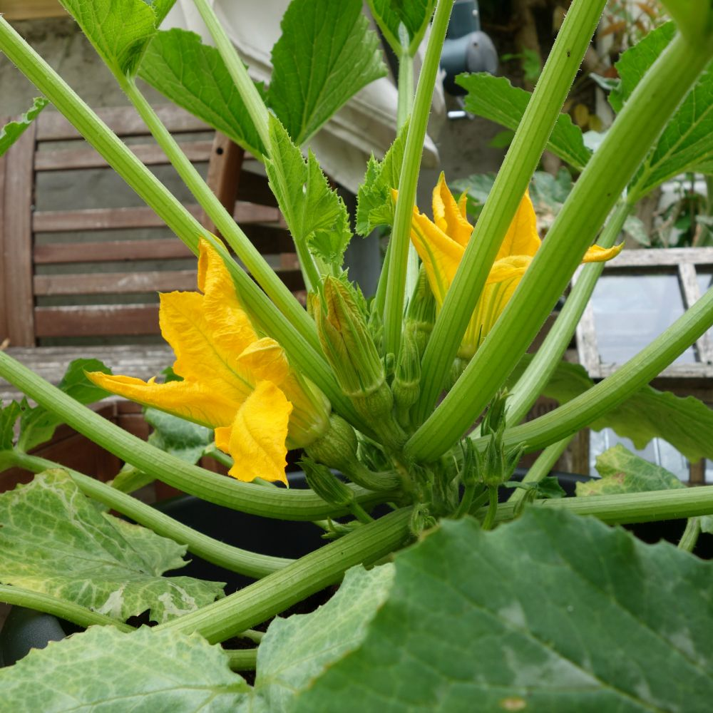 courgetteplant